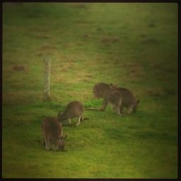 ...wallabies nearby! What a sight to wake up to!